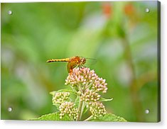 Acrylic Print featuring the photograph Orange Dragonfly by Mary McAvoy