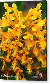 Orange Fringed Orchis Acrylic Print by Barbara Bowen