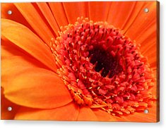 Orange Gerbera Close Up Acrylic Print