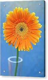 Orange Gerbera Daisy  Propped In Glass Vase Acrylic Print by Photography by Gordana Adamovic Mladenovic