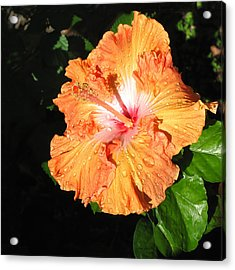 Orange Hibiscus After The Rain 1 Acrylic Print by Connie Fox