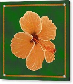 Orange Hibiscus Acrylic Print by Tim Stringer