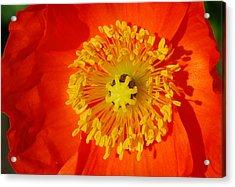 Orange Icelandic Poppy Acrylic Print by Marilynne Bull
