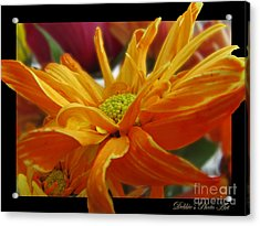 Acrylic Print featuring the photograph Orange Juice Daisy by Debbie Portwood