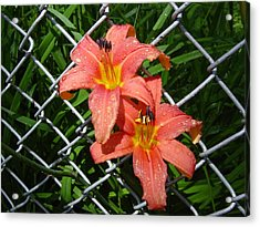 Acrylic Print featuring the photograph Orange Lilly And Dewdrops by Frank Wickham