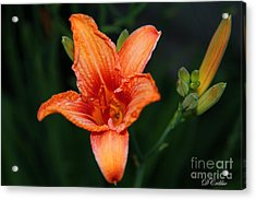 Acrylic Print featuring the photograph Orange Lily by Davandra Cribbie