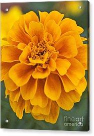 Orange Marigold Acrylic Print