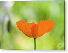 Orange Poppie Acrylic Print by Carolyn Dalessandro