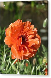 Acrylic Print featuring the photograph Orange Poppy by Rebecca Overton