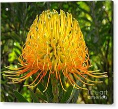 Orange Protea Flower Art Acrylic Print by Rebecca Margraf