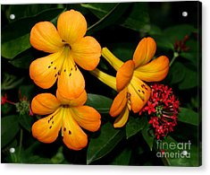 Orange Rhododendron Flowers Acrylic Print by Sabrina L Ryan