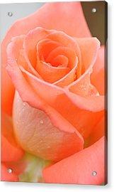 Orange Rose Acrylic Print by Atiketta Sangasaeng