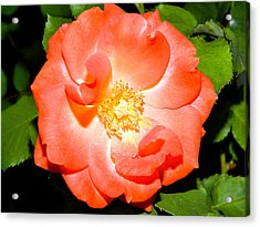 Acrylic Print featuring the photograph Orange Rose  by Ester  Rogers