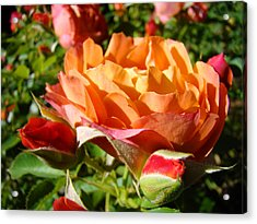 Orange Rose Flower Garden Art Prints Floral Acrylic Print by Baslee Troutman