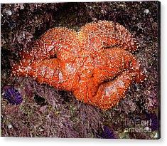Orange Sea Star Acrylic Print by Mariola Bitner