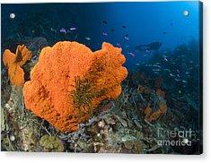 Orange Sponge With Crinoid Attached Acrylic Print by Steve Jones