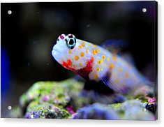 Orange Spotted Shrimp Goby Acrylic Print