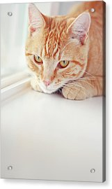 Orange Tabby Cat On White Window Sill Acrylic Print by Kellie Parry Photography