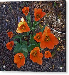 Acrylic Print featuring the photograph Orange Tulips by David Pantuso