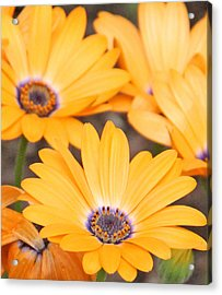 Orange With Purple Center Acrylic Print by Becky Lodes