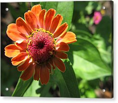 Acrylic Print featuring the photograph Orange Zinia by Tina M Wenger