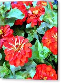 Orange Zinnias Acrylic Print by Elaine Plesser