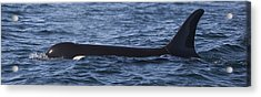 Orca Orcinus Orca Surfacing Showing Acrylic Print by Matthias Breiter