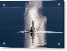 Orca Pair Spouting Southeast Alaska Acrylic Print by Flip Nicklin