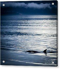 Orca Surfacing Acrylic Print by Darcy Michaelchuk