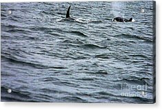 Orca Whales Acrylic Print by Derek Swift