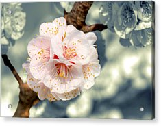Orchard Of Apricot Trees Acrylic Print by Alain Cachat