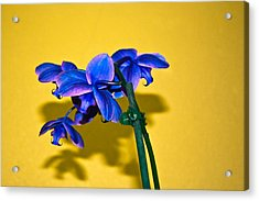 Orchid #1 Acrylic Print by David Alexander