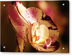 Orchid Fangs Acrylic Print by Bj Hodges