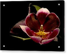 Orchid Acrylic Print by Jacqui Collett