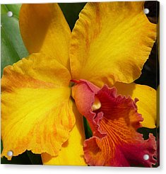 Orchid No. 21 Acrylic Print by Gregory Young