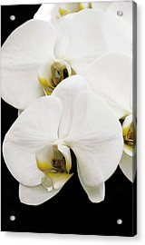 Orchid Acrylic Print by Paul Plaine