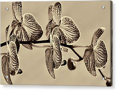 Orchids In Raw Umber Acrylic Print by Kathy Clark