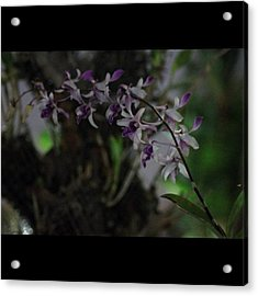 Orchids Of Beauty And Mystery, By My Acrylic Print