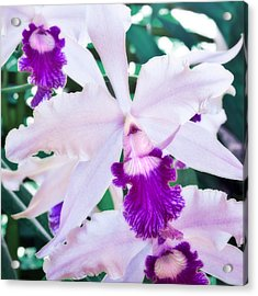 Orchids White And Purple Acrylic Print by Steven Sparks