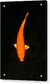 Orengi Koi Acrylic Print