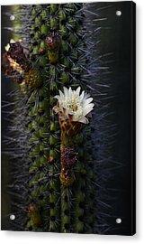 Organ Pipe Cactus  Acrylic Print by Saija  Lehtonen