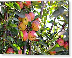 Organic Apples In A Tree Acrylic Print by Susan Leggett
