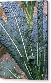 Organic Black Kale Cabbage Acrylic Print by Maxine Adcock