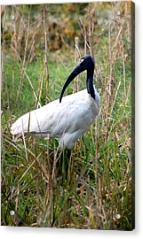 Acrylic Print featuring the photograph Oriental White Ibis by Pravine Chester