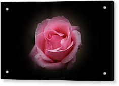 Acrylic Print featuring the photograph Original Rose Petals by Anthony Rego