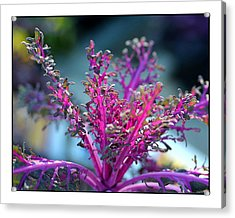 Ornamental Cabbage Acrylic Print by Judi Bagwell