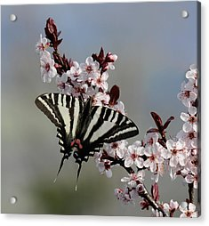 Ornamental Plum Blossoms With Zebra Swallowtail Acrylic Print