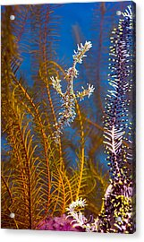 Ornate Ghost Pipefish Acrylic Print by Peter Scoones