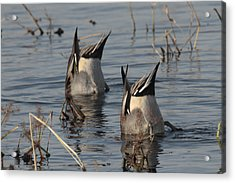 Orthern Pintails Tail Up Dabbling Acrylic Print by George Grall