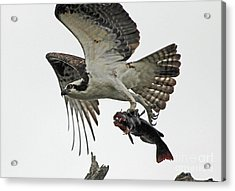Acrylic Print featuring the photograph Osprey - Catfish by Larry Nieland